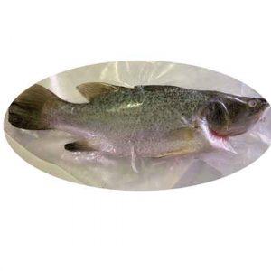 Asian Sea Bass Fish Singapore